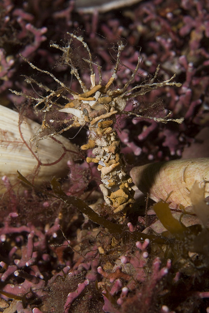 Sand mason worm on maerl, © Graham Saunders/SNH