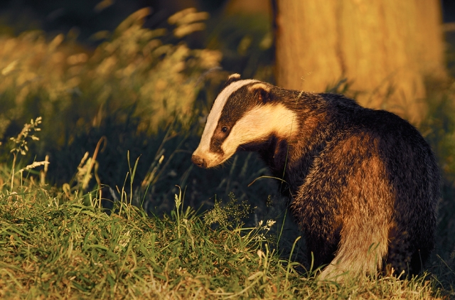 Badger Meles meles Profile of a sub-adult badger in evening light