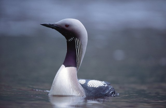 Black Throated Diver ©Laurie Campbell
