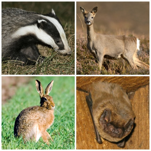 Collage - Deer, Bat, Badger, Hare