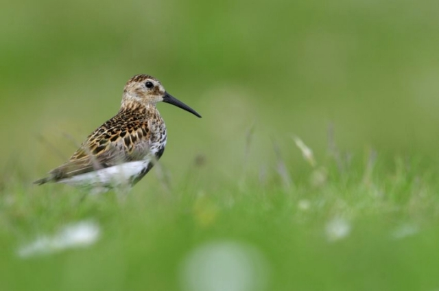 A dunlin nesting on South Uist Machair