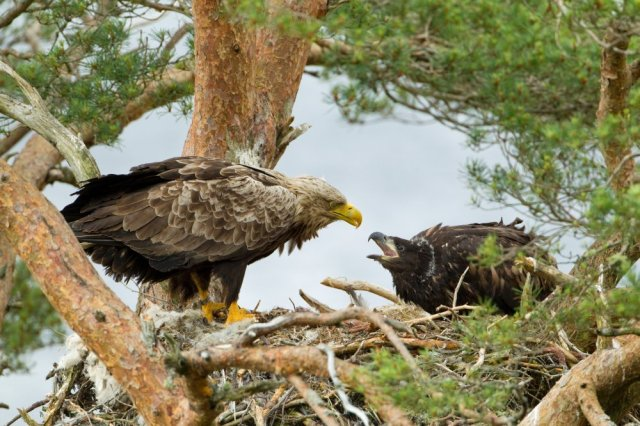 White-tailed eagle Haliaeetus albicilla, adult feeding chick at nest, Wester Ross, Scotland, June ©Mark Hamblin/2020VISION