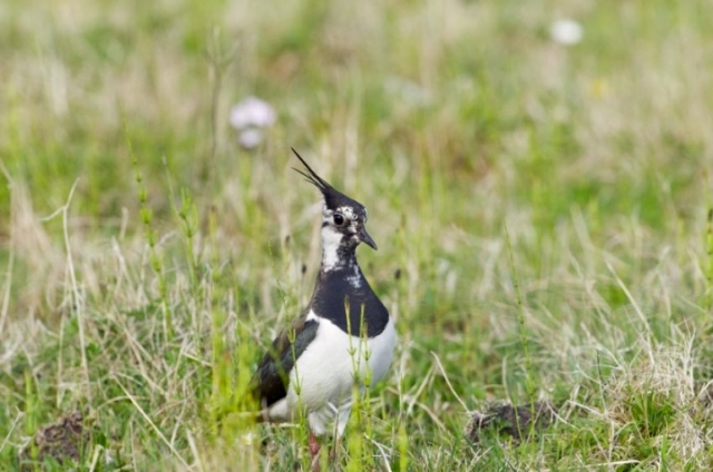 Lapwing on Benbecula machair