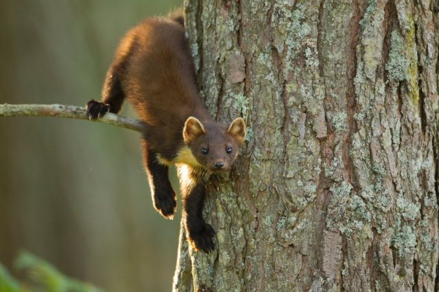 Pine marten (Martes martes) youngster in pine tree in woodland, Beinn Eighe National Nature Reserve, Wester Ross ©Mark Hamblin/2020VISION