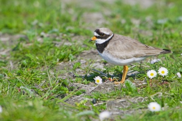 Ringed plover on ploughed machair, South Uist