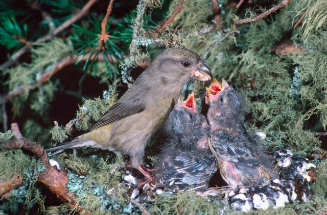 Scottish crossbill at nest
