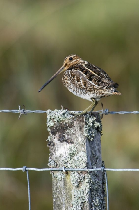 Snipe are often seen standing on fence posts