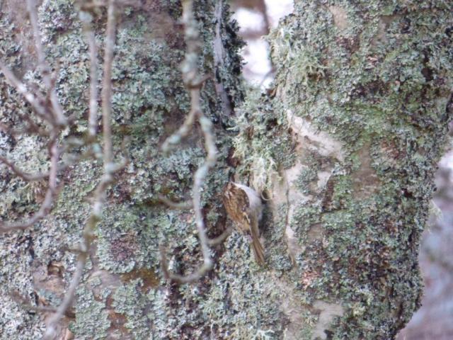 Treecreper