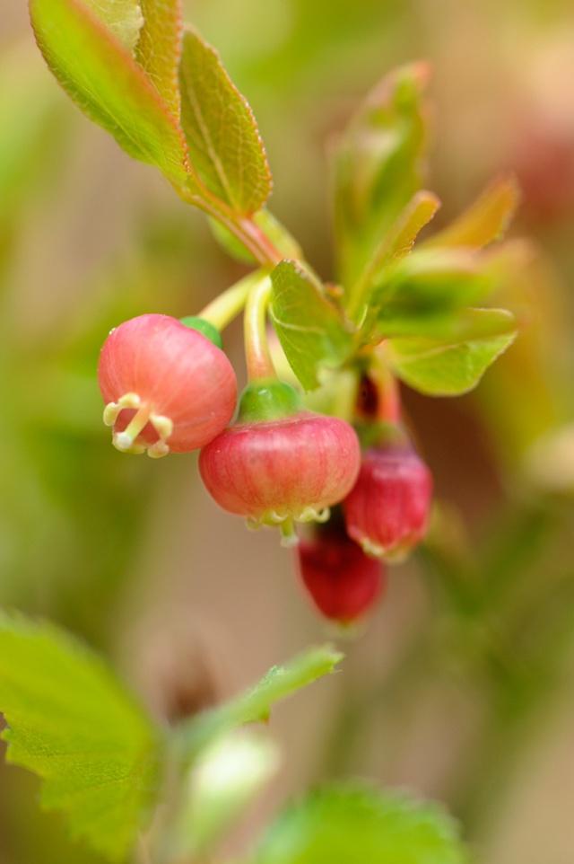 Blaeberry flower. ©Lorne Gill/SNH