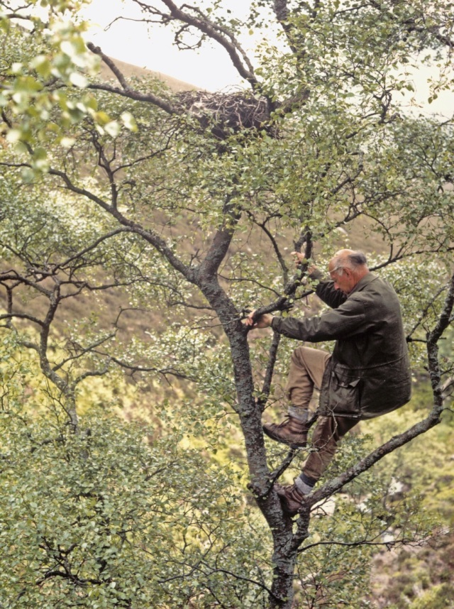 Derek Ratcliffe scaling a Birch  tree to inspect a Merlin's  brood of two 3–4-day-old chicks in an old Carrion Crow's nest in the foothills of Skiddaw in the Lake District. The picture was taken on 9 June 1989, a month before his retirement. Photo by Des Thompson