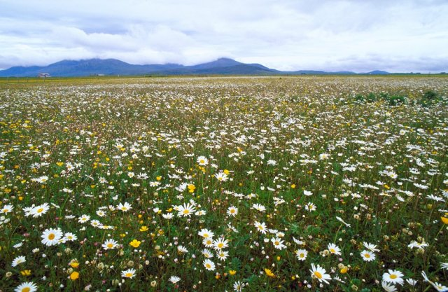 Wildflowers growing in a field on the South Uist machair at Stilligarry, Loch Druidibeg.