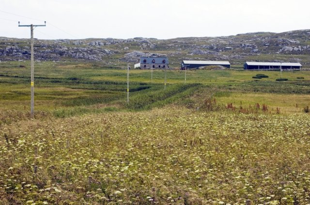 Corncrake friendly field margins at Totronald on the Isle of Coll.