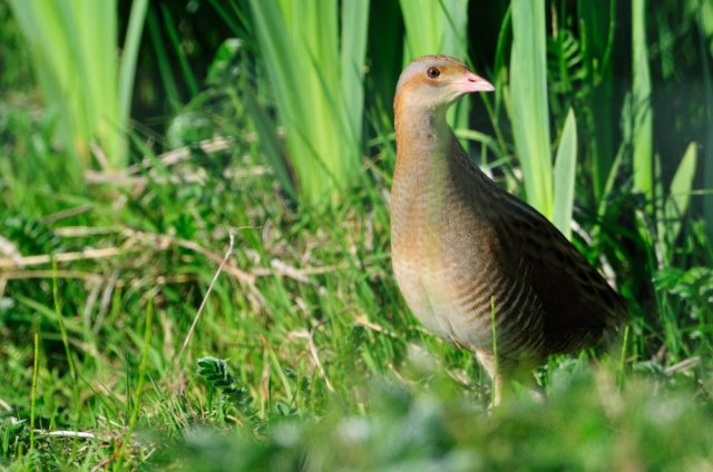 Corncrake in rushes, South Uist.