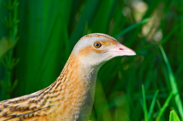 Corncrake, more often heard than seen