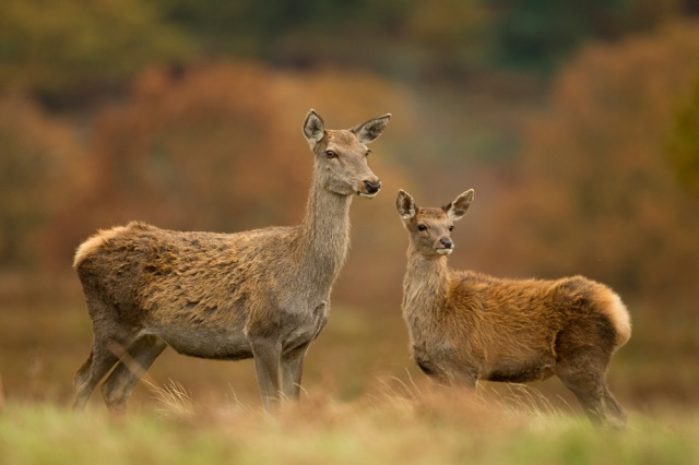 Red deer Hind and young calf   © Danny Green/2020VISION