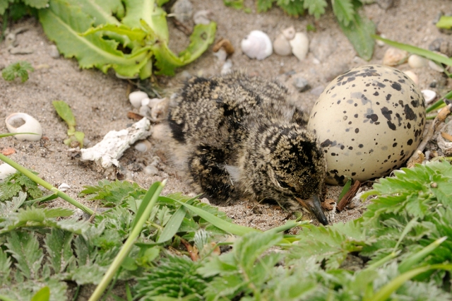Oystercatcher nest with chick and egg.  ©Lorne Gill/SNH