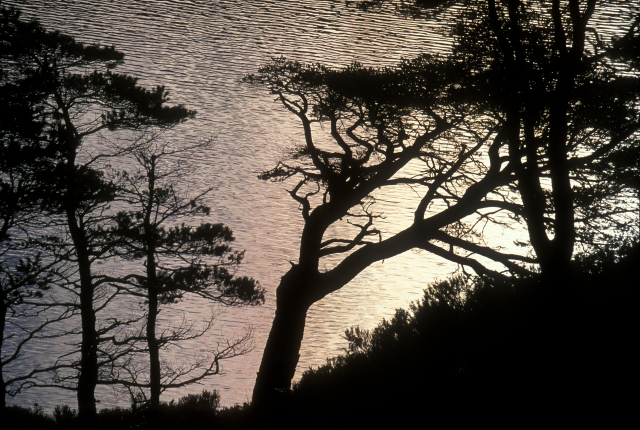Caledonian pines silhoutted against sunrise light on Loch Clair.