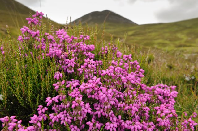 Bell heather (Erica cinerea). ©Lorne Gill/SNH