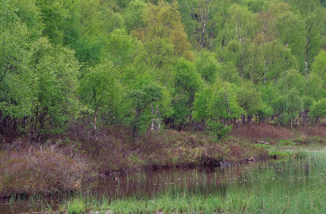 Birch woodland at Craigellachie NNR near Aviemore.