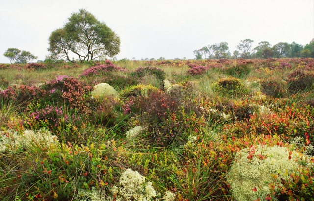 Blaeberry, heather and lichen carpet growing on a raised bog at Flanders Moss NNR. Argyll and Stirling Area. ©Lorne Gill/SNH For information on reproduction rights contact the Scottish Natural Heritage Image Library on Tel. 01738 444177 or www.snh.gov.uk