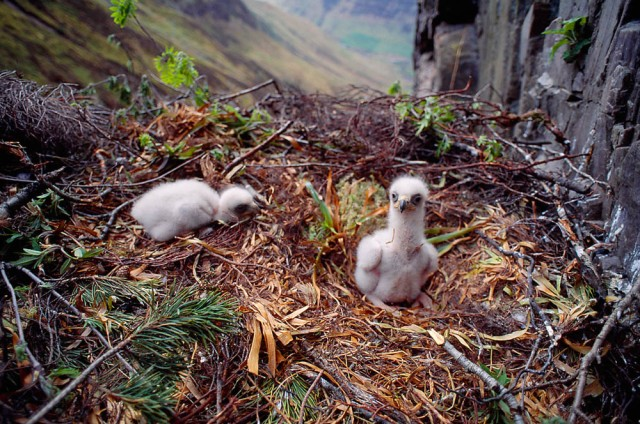 Golden Eagle, two-week-old twin Golden Eaglets in eyrie, Argyll, Scotland, early May  Image - (c) Laurie Campbell