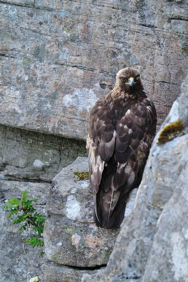 Golden eagle (c) Laurie Campbell