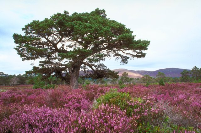 Scots pine and heather. © Lorne Gill/SNH