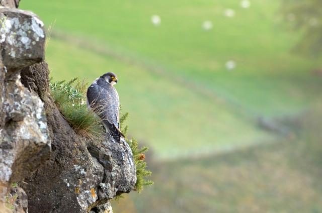 Peregrine falcon  ©Lorne Gill