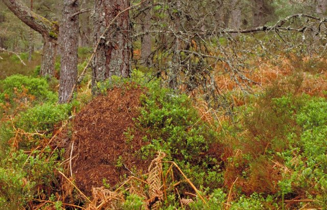 A classic wood ant nest, Black Wood of Rannoch, Perthshire