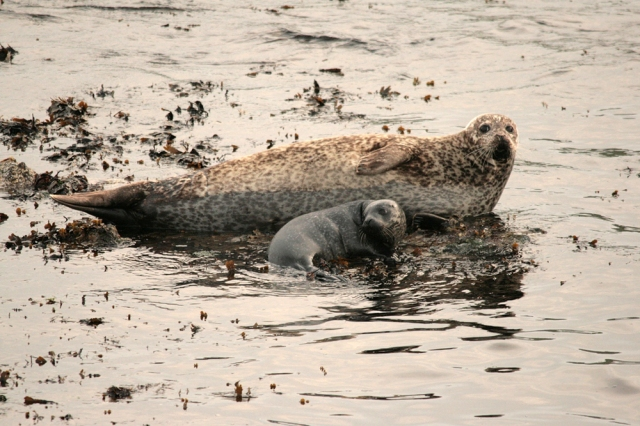 Harbour Seal with pup