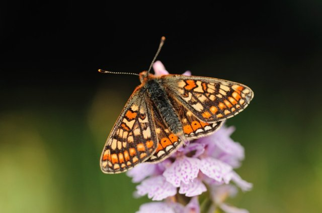 Marsh Fritillary (Euphydryas aurinia) butterfly feeding on a common-spotted orchid, Taynish NNR, Argyll. ©Lorne Gill/SNH