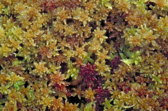 Close-up of sphagnum moss © Lorne Gill/SNH