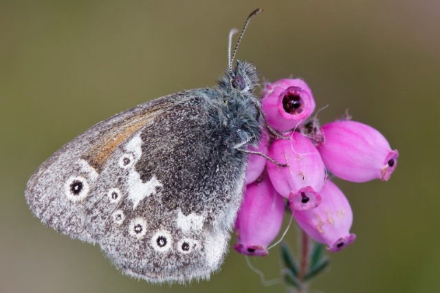 Large Heath butterfly, © Alistair Graham/Butterfly Conservation