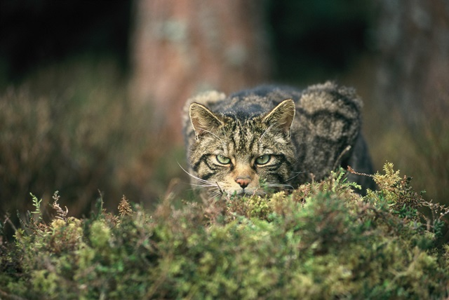 Scottish wildcat (Felis sylvestris) in the Cairngorms National Park, (C) Peter Cairns