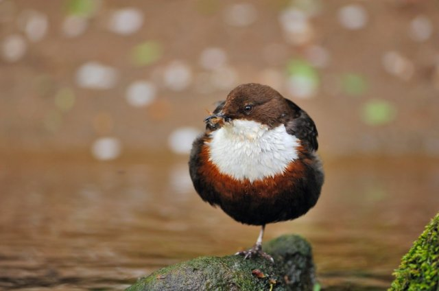 Dipper with a beakful of insects, © Lorne Gill