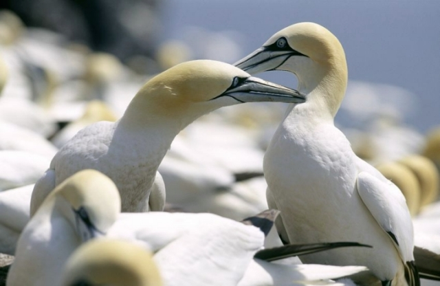 Gannets usually mate for life, © Lorne Gill/SNH