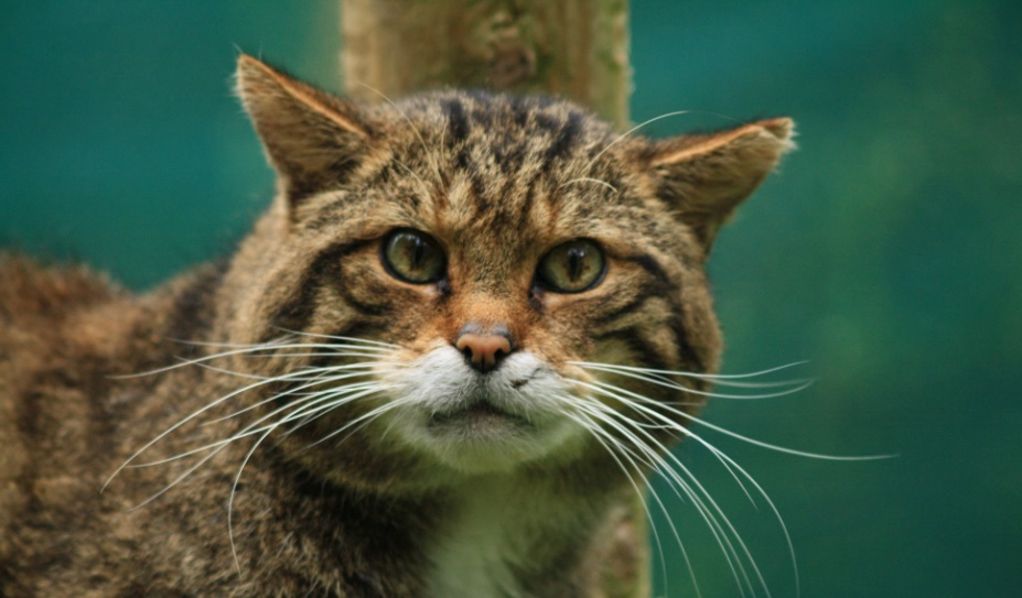 JACK FRASER the SCOTTISH WILD CAT
