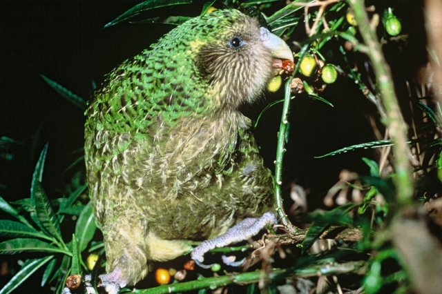 Kakapo, © New Zealand Department of Conservation