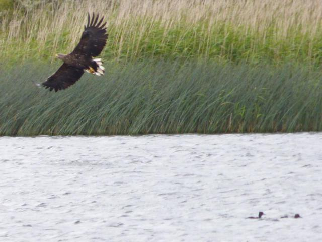Sea eagle swoops over loch