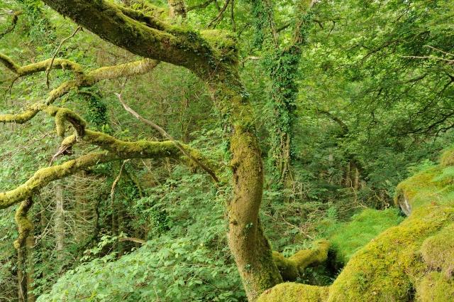 Atlantic oak woodland at Barnluasgan, Argyll.