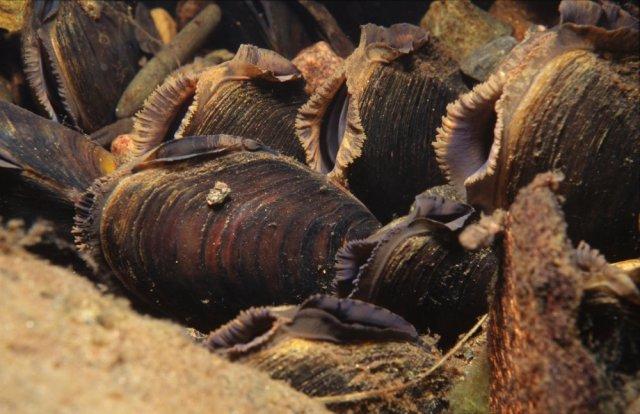 Freshwater pearl mussels (Margaritifera margaritifera) ©Sue Scott/SNH