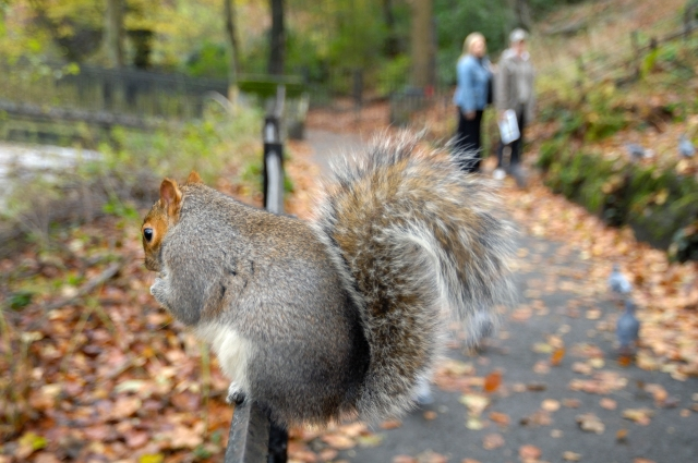 Grey Squirrel (Sciurus carolinensis) by the River Kelvin, Glasgow. ©Lorne Gill