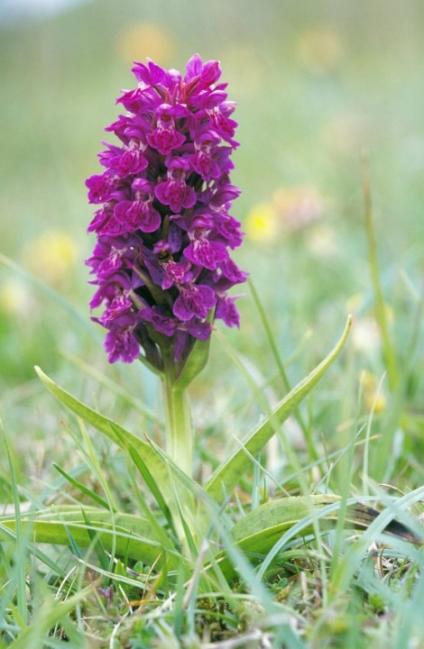 Northern marsh orchid, (C) Lorne Gill