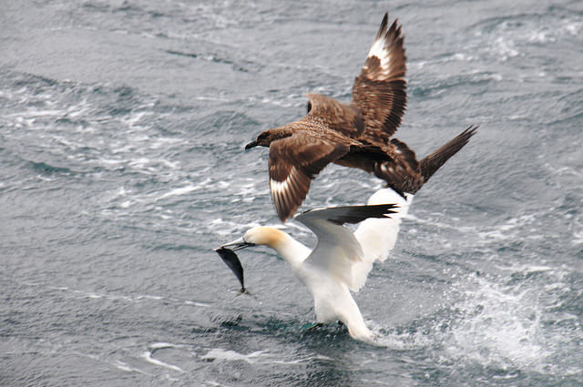 A gannet and a skua fighting over a mackerel, Mousa to Boddam MPA, © Lisa Kamhausen/SNH