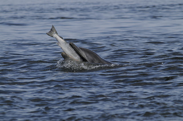 Dolphin eating salmon, Chanonry Point, Moray Firth, © Ben James/SNH