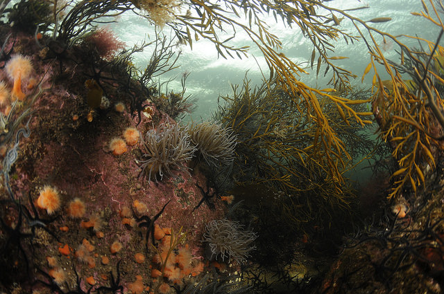 Snakelocks and plumose anemones under a canopy of sea oak, Loch Swee, © Ben James.