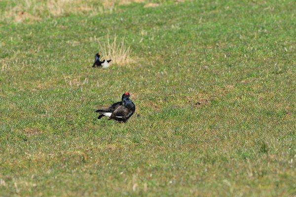 Black Grouse, © Lorne Gill/SNH