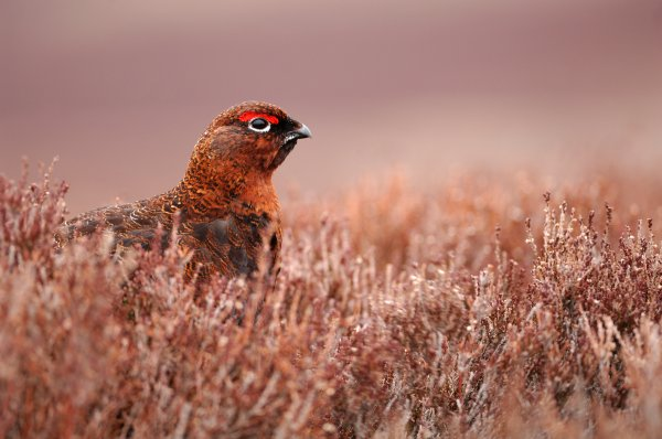 Red Grouse (lagopus lagopus scoticus) resting in heather moorland, © Lorne Gill/SNH