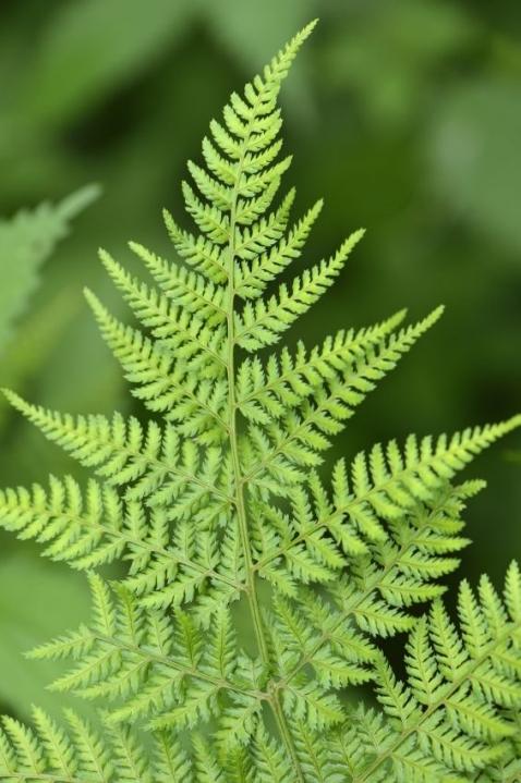 Broad buckler-fern (Dryopteris dilatata)