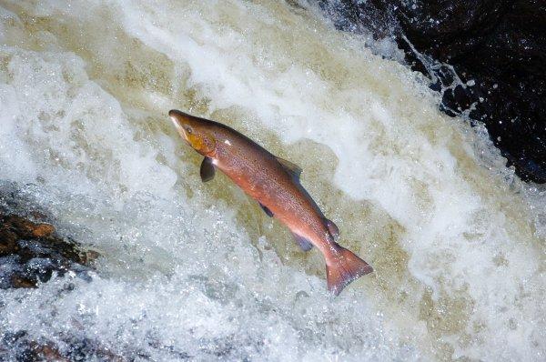 A male Atlantic salmon (Salmo salar) leaping up a waterfall, © Lorne Gill